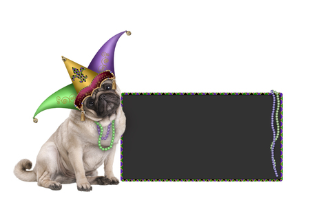 cute Mardi gras carnival pug puppy dog sitting down with harlequin jester hat and blackboard sign,  isolated on white background Stockfoto - 95057426