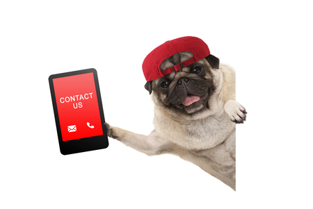 frolic pug puppy dog with red cap, holding up tablet phone with text contact us, hanging sideways from white banne, isolated Foto de archivo