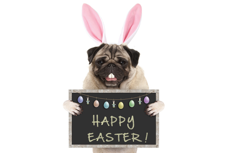 Easter bunny pug puppy dog with ears, eggs and blackboard with text happy easter, isolated on white background