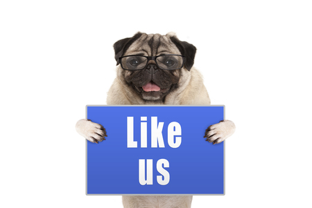 pug dog with glasses holding up blue sign with text like us, isolated on white background Stockfoto