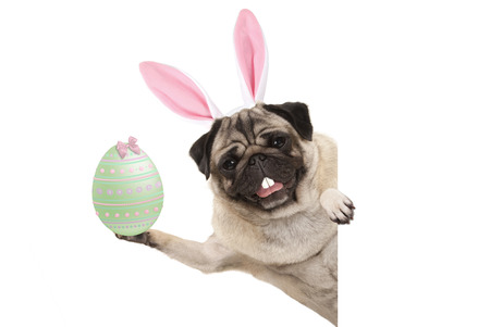 Happy Easter bunny pug dog with bunny teeth and pastel green easter egg, isolated on white background