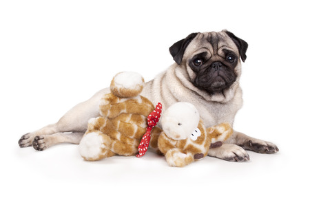 sweet pug puppy dog lying down like a model, with stuffed animal giraffe, on white background