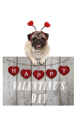 Cute pug puppy dog leaning on wooden fence of used scaffolding wood with red hearts and text happy valentines day, isolated on white background Stockfoto