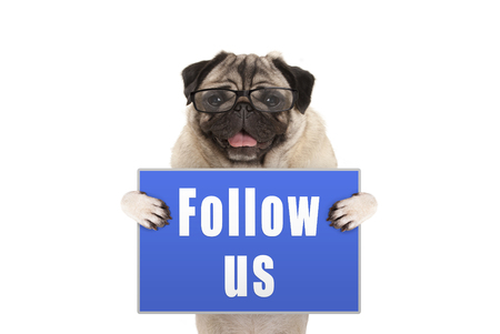 Pug dog with glasses holding up blue sign with text follow us, isolated on white background Stockfoto