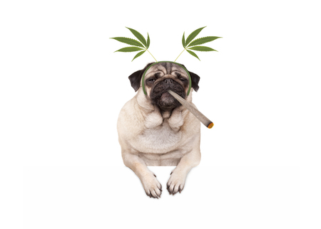 pug puppy dog being high, smoking marijuana weed joint, wearing hemp leaves diadem, isolated on white banner