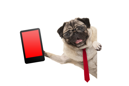 frolic business pug puppy dog with red tie and glasses, holding up tablet phone with blank red screen, hanging sideways from white banner, isolated Stockfoto