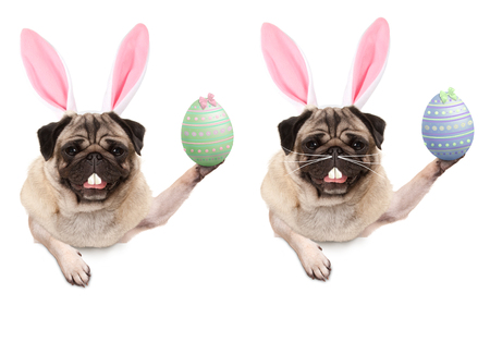 cute pug puppy dog with bunny ears diadem, holding up easter egg hanging with paws on blank banner, isolated on white background