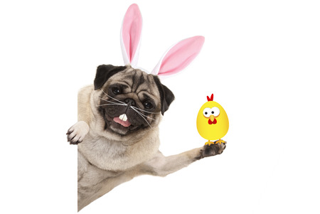 funny easter pug dog with rabbit teeth, whiskers and ears holding up chicken, isolated on white background