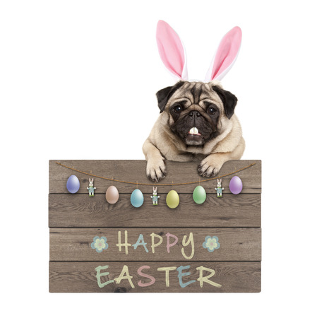 Easter bunny pug dog hanging on wooden sign with text happy easter and pastel decoration, isolated on white background Stockfoto