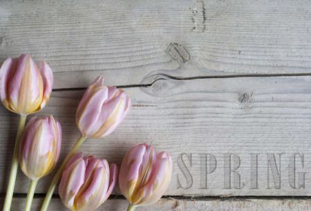 close up of blooming tulips on wooden background, with text spring Stockfoto