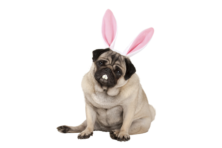 sweet cute pug puppy dog sitting down with easter bunny ears and teeth, isolated on white background