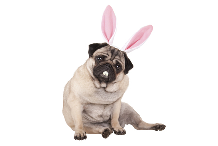 adorable cute pug puppy dog sitting down with easter bunny ears and teeth, isolated on white background