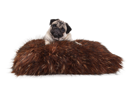 cheeky pug puppy dog lying down on fuzzy fake fur pillow, isolated on white background
