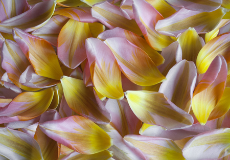 closeup of Dutch tulip petals, colorful spring backdrop Stockfoto