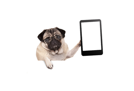 pug puppy dog with glasses holding up blank tablet or mobile phone, hanging on white banner, isolated Stockfoto