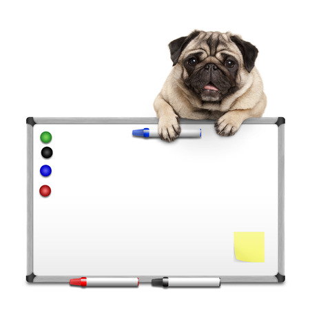 cute pug puppy dog hanging with paws on blank marke  white board with markers and magnets, isolated on white background
