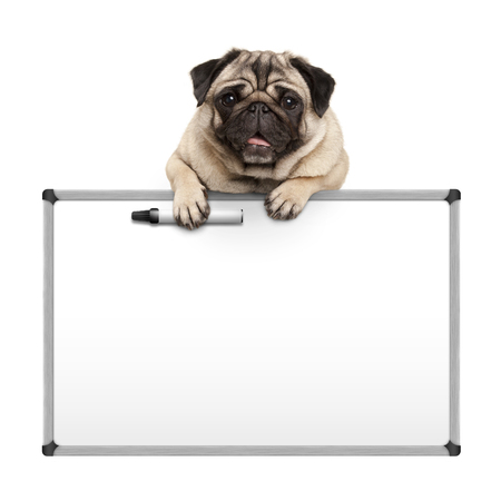 cute pug puppy dog hanging with paws on blank marker white board, promotional sign, isolated on white background Stockfoto - 99424248