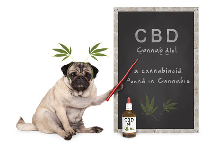pug puppy dog with hemp leaves diadem pointing at blackboard with text CBD and dropper bottle with oil, isolated on white background Standard-Bild