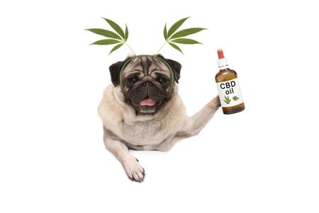 cute smiling pug puppy dog holding up bottle of CBD oil wearing  marijuana hemp leaf diadem, isolated on white background