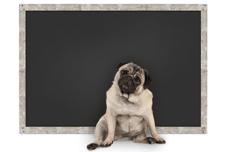 smart funny pug puppy dog sitting in front of blank blackboard, isolated on white background Stockfoto