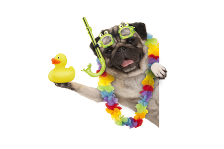 funny summer pug dog with hawaiian flower garland, snorkel and goggles, holding up yellow rubber ducky, isolated on white background