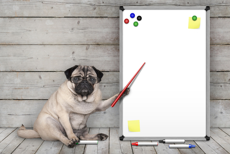 serious pug puppy dog sitting down, pointing at blank white board with yellow notes and magnets, on wooden floor and background