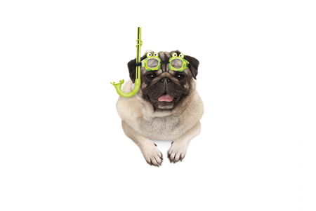 frolic smiling pug puppy dog with green snorkel and goggles, ready to dive, isolated , hanging with paws on white banner