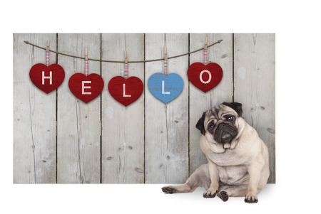 Cute pug puppy dog sitting down next to wooden fence of reclaimed barn wood with red and blue hearts with text hello, isolated on white background Stockfoto
