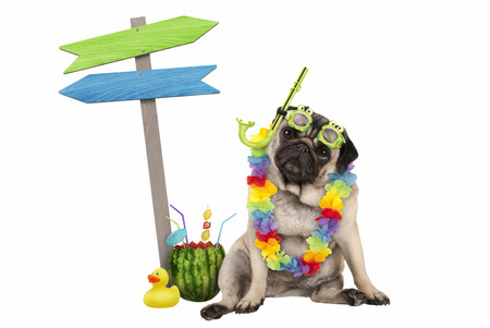 cute smart pug puppy dog sitting down with watermelon cocktail, wearing hawaiian flower garland, goggles and snorkel, next to wooden signpost with arrows, isolated on white background Stockfoto