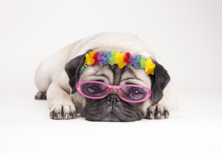 adorable pitiful pug puppy dog, lying down flat. wearing hawaiian flower garland and pink sunglasses, on white background