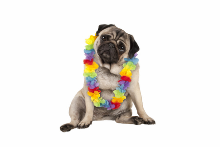 cute sweet pug puppy dog sitting down wearing hawaiian flower garland, isolated on white background