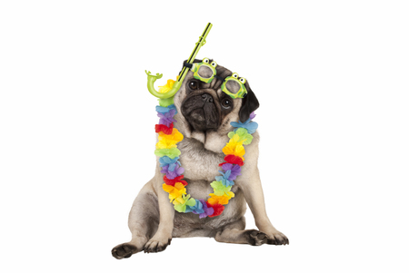 cute smart pug puppy dog sitting down wearing hawaiian flower garland and green goggles and snorkel, isolated on white background Stockfoto