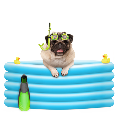 happy summer pug dog with goggles and snorkel, on vacation, in inflatable pool, isolated on white background Stockfoto - 105926746