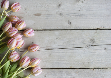pink Dutch blooming tulips on weathered barn wood background Stockfoto - 105926747