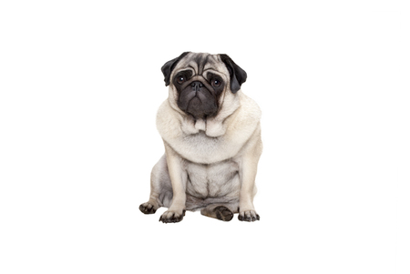 beautiful pug puppy dog sitting down with sweet face, isolated on white background Stockfoto