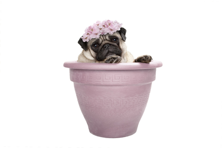 lovely sweet pug dog sitting in plant pot, wearing pale pink flowers diadem, isolated on white background Archivio Fotografico