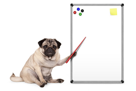 serious pug puppy dog sitting down, pointing at blank empty white board with yellow notes and magnets, isolated on white background
