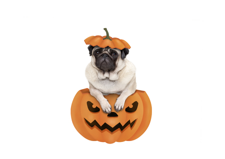 cute pug puppy dog sitting in carved pumpkin with scary face, wearing lid as hat, isolated on white background Archivio Fotografico