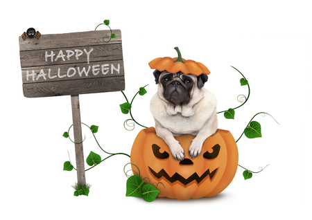 cute pug puppy dog sitting in carved pumpkin with scary face, wearing lid as hat, with wooden sign saying happy halloween isolated on white background Stockfoto - 112438545
