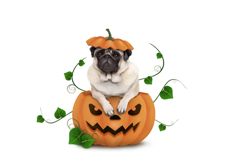 cute pug puppy dog sitting in carved pumpkin with scary face, wearing lid as hat, isolated on white background Stockfoto - 112438551