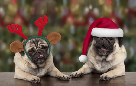 funny cute Christmas pug puppy dogs leaning on wooden table, wearing santa claus hat and reindeer antlers, with seasonal background Archivio Fotografico