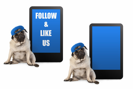 cute pug puppy dog looking smart, sitting next to tablet phone with text follow and like us, wearing blue cap, isolated on white Stockfoto - 116082221
