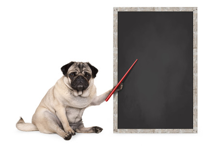 serious pug puppy dog sitting next to blank blackboard sign, holding red pointer, isolated on white background Stock Photo