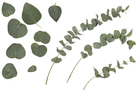 Eucalyptus cinerea, silver dollar; argyle apple, rustic green branches, twigs and leaves, isolated on white background