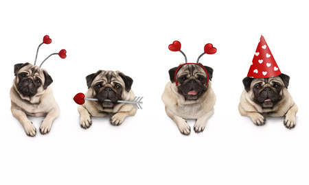 four cute Valentine love pug puppy dogs, with hearts, hanging on white banner, isolated
