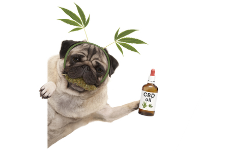 cute smiling pug puppy dog holding up bottle of CBD oil, wearing marijuana hemp leaf diadem, chewing on cannabis flowers. isolated on white background Archivio Fotografico - 117518799