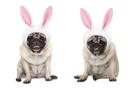 funny little easter pug puppy dogs, sitting down, wearing easter bunny cap with ears, isolated on white background Archivio Fotografico