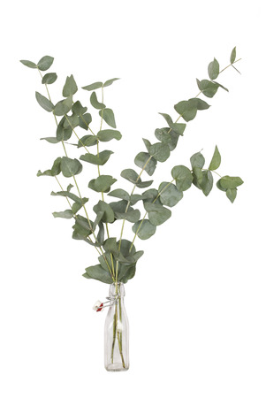 bouquet of eucalyptus cinerea, silver dollar, twigs and branches in glass swing top bottle, isolated on white background Archivio Fotografico
