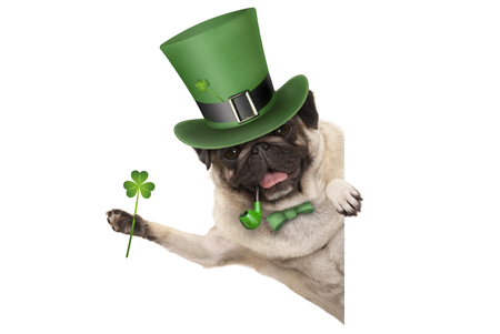 st patricks day pug puppy dog with green leprechaun hat and pipe, holding up shamrock clover, smiling sideways, isolated on white background