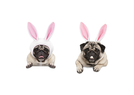 two cute pug puppy dogs, dressed up as easter bunnies, hanging with paws on white banner, isolated Stockfoto - 118765381